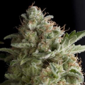 American Pie Feminized Seeds - seedsman-by-pyramid-seeds - 1