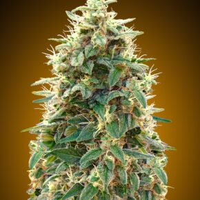 00 Cheese Autoflowering Seeds - tiger-one-seeds-by-00-seeds - 5