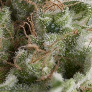 thumbnail American Pie Autoflowering Seeds