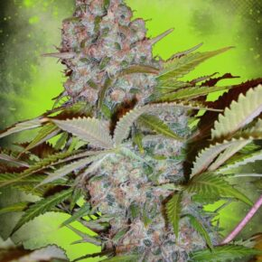 Cheese NL Autoflowering Seeds - ministry-of-cannabis - 25