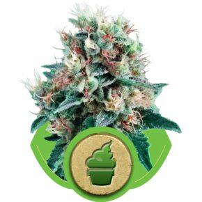 Royal Creamatic Autoflowering Seeds - seedsman-by-royal-queen-seeds - 3
