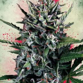 Silver Bullet Autoflowering Seeds - ministry-of-cannabis - 2