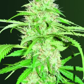 Super Mazar Autoflowering Seeds - tiger-one-seeds-by-victory-seeds - 3