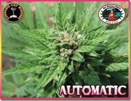 AUTOMATIC Feminized Seeds - seedsman-by-big-buddha-seeds - 5