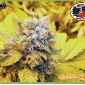 Cheese Dawg Feminized Seeds - seedsman-by-big-buddha-seeds - 5