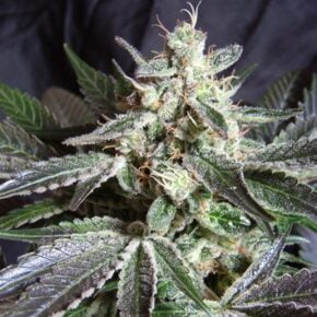 Black Jack Autoflowering Seeds - seedsman-by-sweet-seeds - 3