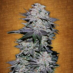 Blackberry Autoflowering Seeds - seedsman-by-fastbuds-seeds - 1