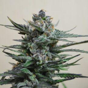 Blue Acid Autoflowering Seeds - seedsman-by-kalashnikov-seeds - 5