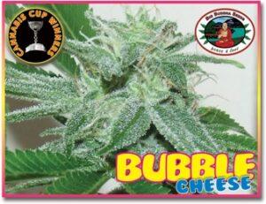 thumbnail Bubble Cheese Feminized Seeds