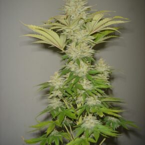 Bubblicious Feminized Seeds - seedsman-by-resin-seeds - 3