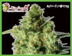 Bulk Smash Autoflowering Seeds - seedsman-by-dr-krippling-seeds - 1