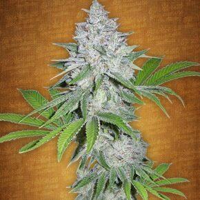 Californian Snow Autoflowering Seeds - seedsman-by-fastbuds-seeds - 1