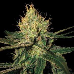 Cannalope Haze Seeds - seedsman-by-dna-genetics - 13