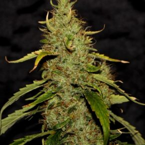 CBD PH Seeds - seedsman-by-cbd-crew - 5