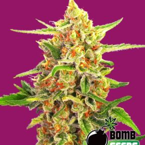 Cherry Bomb Feminized Seeds - seedsman-by-bomb-seeds - 10
