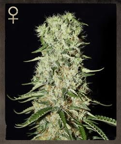 Damnesia Feminized Seeds - tiger-one-seeds-by-strain-hunters-merchandise - 10