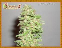 Dizzy Lights Autoflowering Seeds - seedsman-by-dr-krippling-seeds - 1