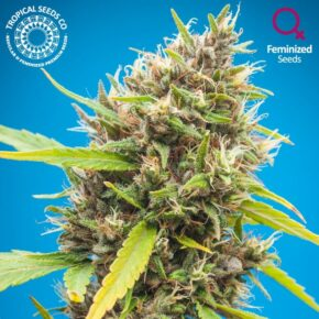 Durbakistan Feminized Seeds - seedsman-by-tropical-seeds - 3