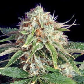 Fast Ryder 2 Feminized Seeds - seedsman-by-the-bulldog-seedbank - 5