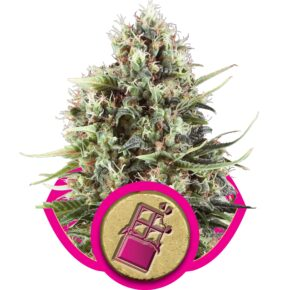 Chocolate Haze Feminized Seeds - seedsman-by-royal-queen-seeds - 1