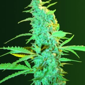 Ultra Power Plant Feminized Seeds - seedsman-by-victory-seeds - 3
