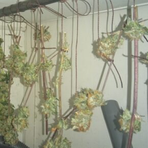 Blue Kush and Critical buds drying
