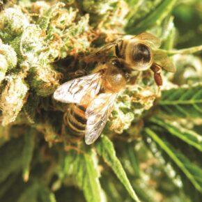 2 bees on a ganja flower