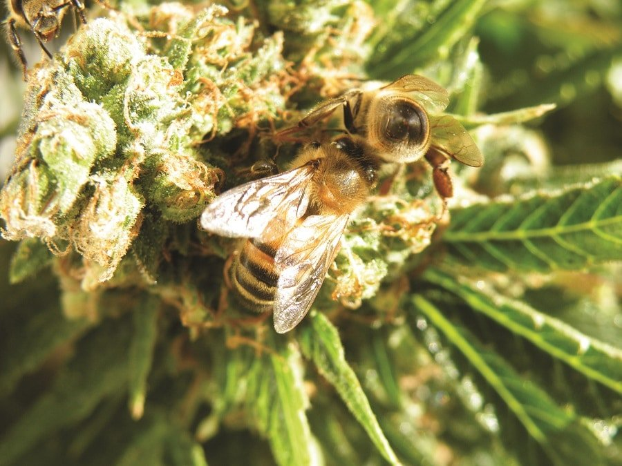 2 bees on a ganja flower