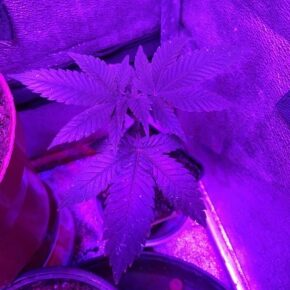Blue thai mother plant vegetating
