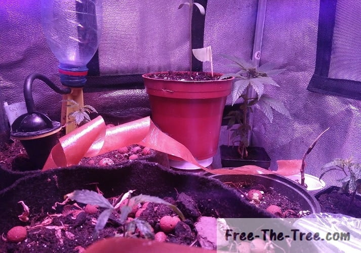 6 cannabis plants in the 2nd week of vegetation