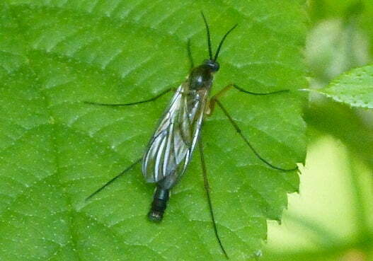 Female fungus gnat on a leaf