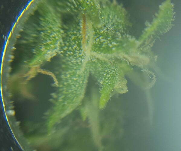 cheese strain milky trichomes
