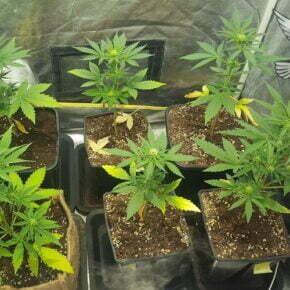 grow room entering the 2nd week of the flowering stage