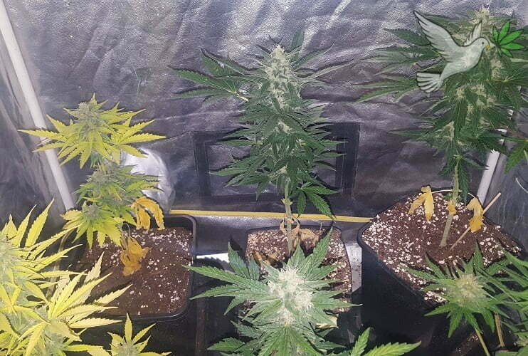 Flowering Stage of Cannabis - Everything From the Stretch to