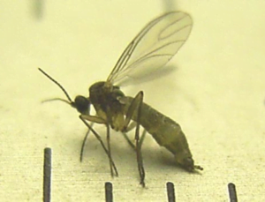 Adult fungus gnat on a ruler