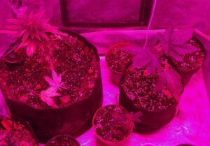 Laughing buddha, critical+ and blue thai in grow room