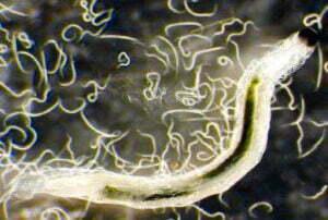 Dozens of nematodes in and around a fungus gnat larvae