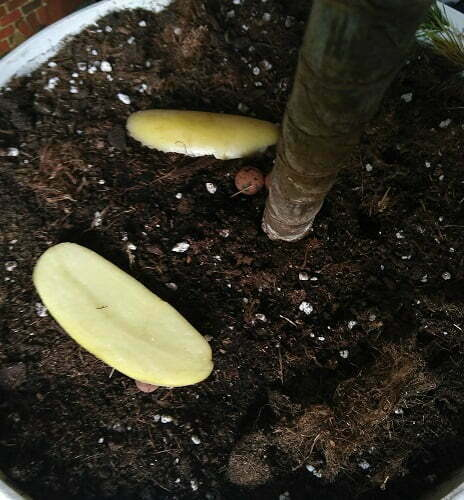 2 potatoe slices on medium to attract the larvae and pupa