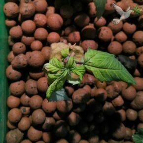 Stink bug adult on cuttings