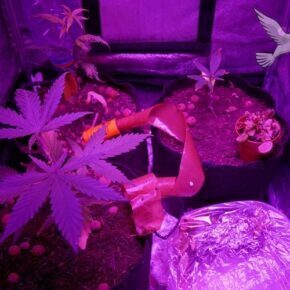Cannabis plants attacked by fungus gnats