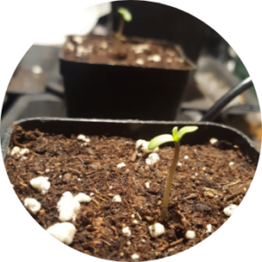 grow tips when using autoflowering seeds