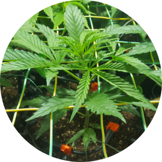 Cheese Grow Report | From Seed to Harvest