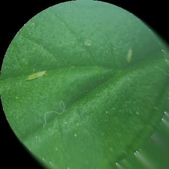 3 thrips larvae on cannabis leaf