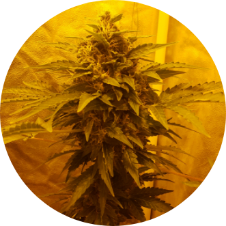 One Bud Technique – Everything there is to know about One Budding