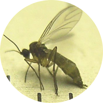 adult fungus gnat up close