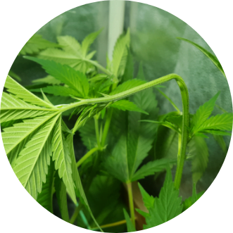Plant Training – LST, Topping, FMIing, Super cropping and more!