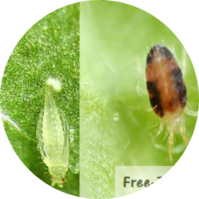 adult thrips and spider mite up close