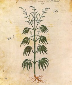 cannabis drawing from 500AD