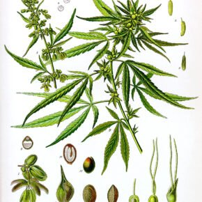 cannabis plant drawing from late 19th century