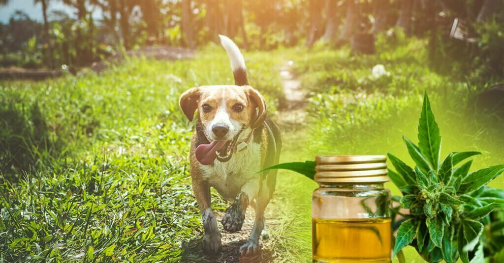 Dog in a field running towards a small flask of cbd oil